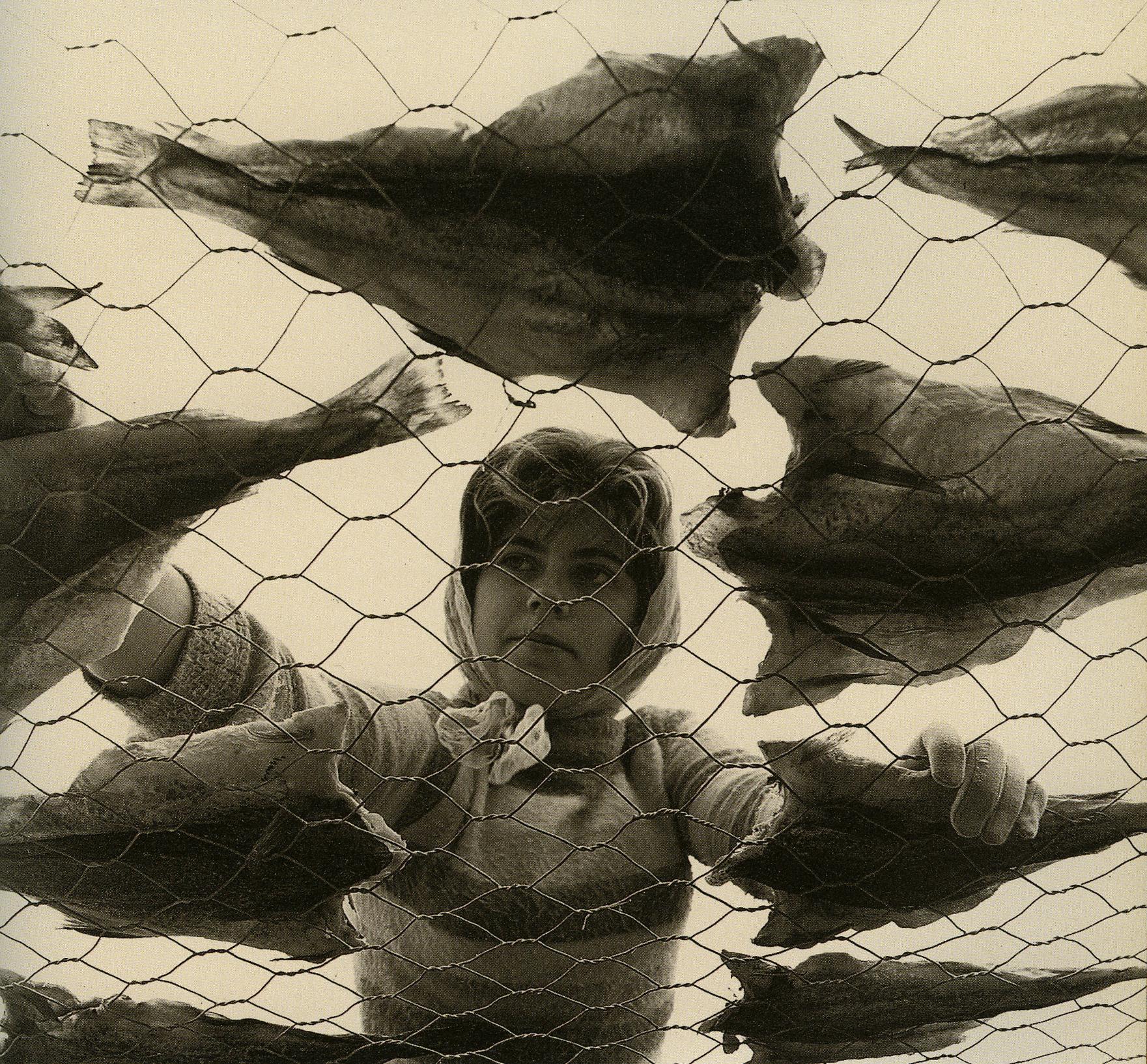 1962_Nfld fishery worker drynig cod